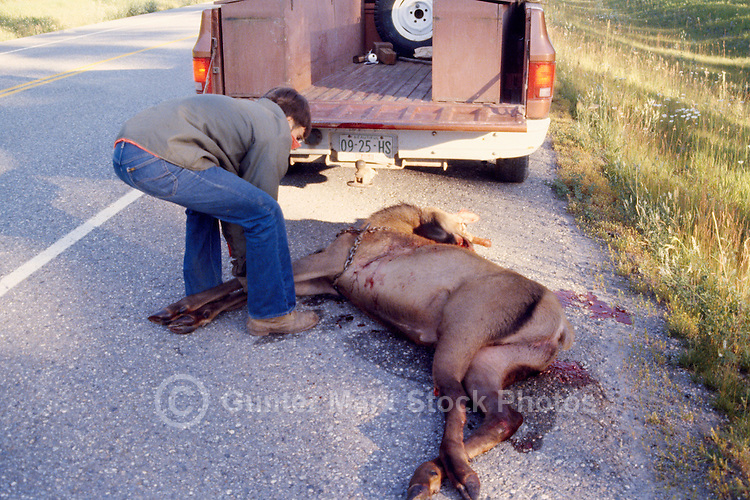 Man removing Roadkill Carcass of Elk Cow (Wapiti) (Cervus canadensis) killed by Vehicle in Road Accident, BC, British Columbia, Canada - Dead Animal on Highway, Summer