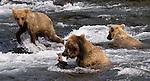 GRIZZLY BEARS.(URSUS ARCTOS).BROOKS FALLS KATMAI NATIONAL PARK AND RESERVE ALASKA.07-03-2005.PHOTO © FITZROY BARRETT 2005