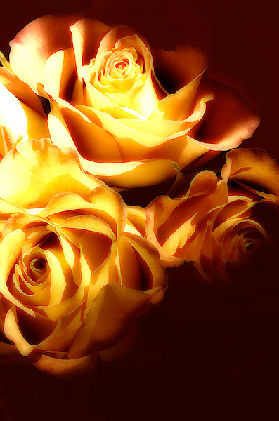 Passionate Roses. Aflame in Surrender Rose Photo. Marc Caryl Natire Photos.