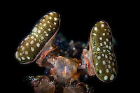 Giant Mantis Shrimp (Lysiosquillina maculata) eyes in Lembeh Strait / Indonesia