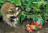 MA22-004x  Raccoon - young raccoon exploring garden, finding strawberries - Procyon lotor
