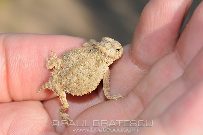 Regal Horned Lizard (Phrynosoma solare) juvenile, Arizona