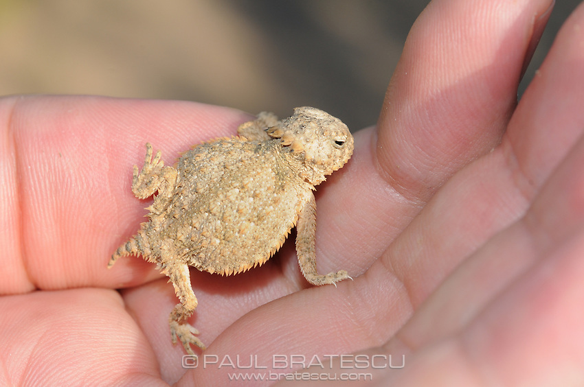 Regal Horned Lizard (Phrynosoma solare) juvenile, Arizona