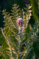 Banksia baxteri; Australian shrub Wild Ridge Organics