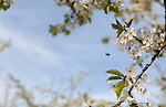 A single honeybee is captured in-flight while approaching a white cherry bloom with another bee collecting pollen nearby.