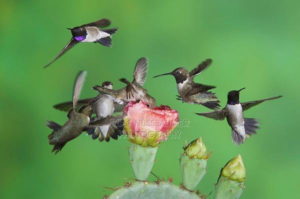 Black-chinned Hummingbird, Archilochus alexandri, multiple birds in flight feeding on Texas Prickly Pear Cactus (Opuntia lindheimeri), Uvalde County, Hill Country, Texas, USA, April 2006