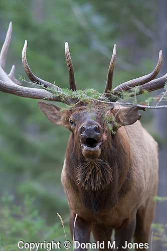 Elk (Rocky Mtn) Cervus canadensis)