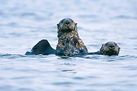 Sea otter, Enhydra lutris kenyoni, Izembek Lagoon, Alaska Peninsula, Alaska, Bering Sea