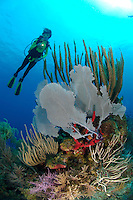 nr0434-D. scuba diver Melissa Cole (model released) admires sea fans, sponges, soft corals etc. on a shallow coral reef. Belize, Caribbean Sea.<br /> Photo Copyright &copy; Brandon Cole. All rights reserved worldwide.  www.brandoncole.com