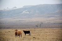 Cattle graze in a field near Square Butte, Montana, USA.