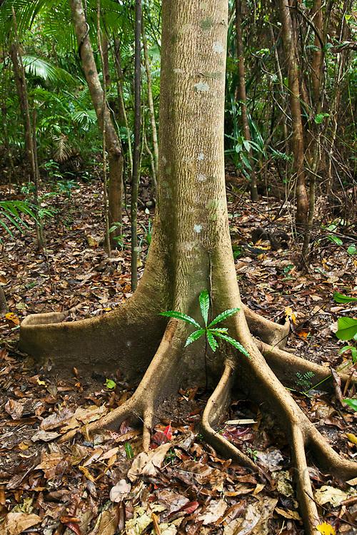 Butress roots of a rainforest tree.  Daintree National Park, Queensland, Australia