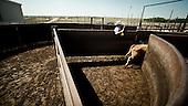 """Mead, Kansas, USA, August 2011:.Work at the feedyard.  Millions of cows are gaining weight in feedyards across the region, where four huge meatpacking plants of National Beef, Cargill and Tyson slaughter and process about 20 thousand cattle a day. Kansas dominates American beef industry, by producing one quarter of all beef in the USA..(Photo by Piotr Malecki / Napo Images)..Mead, Kansas, Stany Zjednoczone, Sierpien 2011:.Praca w jednej z tuczarni bydla zwanych """"feedyards"""". W tym rejonie jest mnostwo takich tuczarni, by zaopatrywac cztery wielkie zaklady miesne nalezace do firm National Beef, Cargill i Tyson. Zaklady te przerabiaja razem okolo 20 tysiace sztuk bydla dziennie.  Stan Kansas zdominowal rynek wolowiny w Stanach Zjednoczonych, produkujac jedna czwarta calej amerykanskiej wolowiny. Amerykanski przemysl miesny jest bardzo uzalezniony od taniej sily roboczej, ktora daja emigranci..Fot: Piotr Malecki / Napo Images."""
