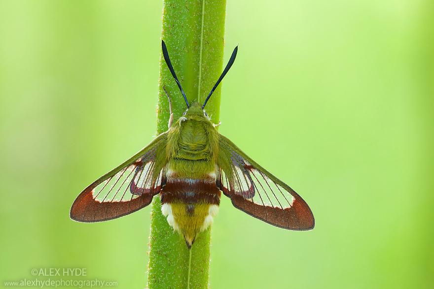 Broad-bordered Bee Hawkmoth {Hemaris fuciformis} Surrey, UK. June.