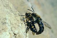 Gemeine Trauerbiene, Trauer-Biene, Paarung, Kopulation, Melecta albifrons, Melecta punctata, Melecta armata, Kuckucksbiene, Cuckoo bee