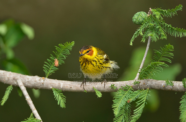 Cape May Warbler (Dendroica tigrina), male, South Padre Island, Texas, USA