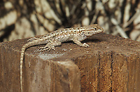 Western fence lizard, Sceloporus occidentalis, Alameda County, California.  Researchers at UC Berkeley have found that fence lizards' blood contains a substance that kills the Lyme disease bacterium, Borrelia burgdorferi, when a lizard is bitten by a tick.  This may explain the relatively low incidence of Lyme disease in California.
