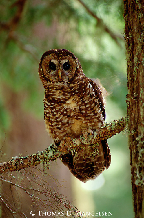 Portrait of  Northern Spotted Owl.