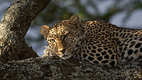 Leopard lounging in a tree at sunset, Serengeti