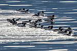 USA, Alaska , Glacier Bay National Park , common murre or common guillemot (Uria aalge)