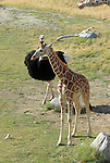 young reticulated giraffe being chased by ostrich