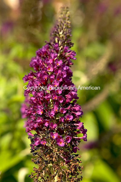 WOODBURY, CT--14 JULY 2006 -071406JS09-A stalk from a Guinevere Butterfly Bush at Total Estate Care Garden Center in Woodbury. -Jim Shannon Republican-American