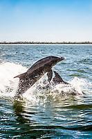 Atlantic Bottlenose Dolphins dance in Pine Island Sound, Captiva Island, Florida, USA. Photo by Debi Pittman Wilkey
