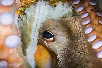 Common Octopus, Octopus vulgaris, guarding its eggs, Blue Heron Bridge, Lake Worth Lagoon, Riviera Beach, Florida, USA, Atlantic Ocean