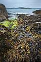Bladder Wrack seaweed {Fucus vesiculosus} exposed at low tide in middle-shore zone. Iona, Isle of Mull, Scotland, UK. June.