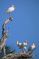 550500057 a flock of white ibis eudocimus albus perch in a dead tree on a private ranch in tamaulipas state mexico