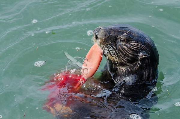 Southern Sea Otter (Enhydra lutris nereis) eating Sipunculid worm or peanut worm.  Central California Coast.