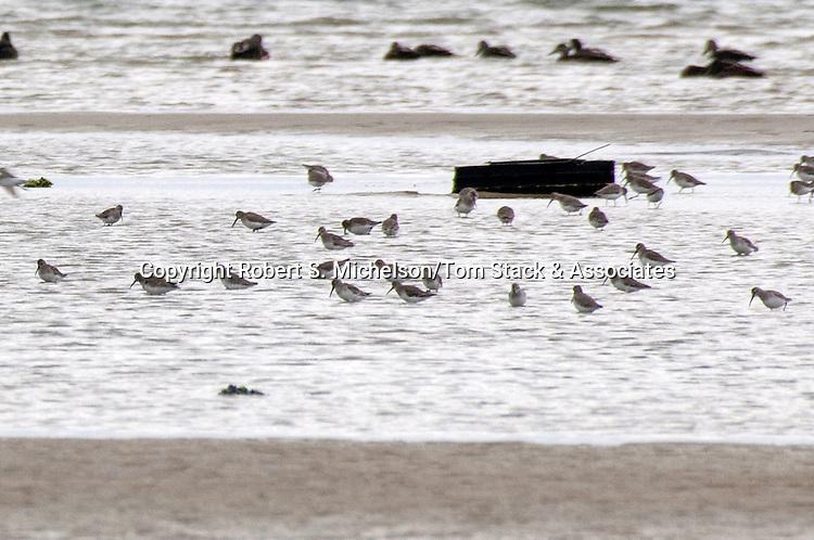 Flock of Sanderlings feeding on sand flat, South Beach, Chatham, Massachusetts
