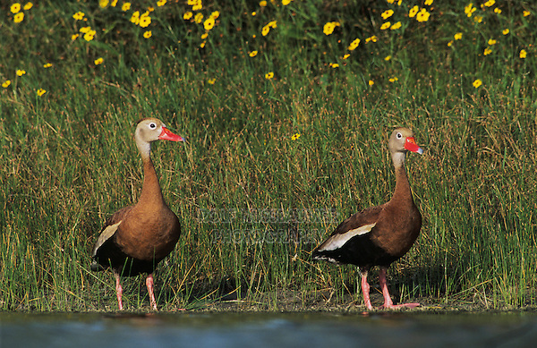 Black-bellied Whistling-Duck, Dendrocygna autumnalis, pair swimming, Lake Corpus Christi, Texas, USA, April 2003