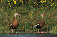 Black-bellied Whistling-Duck, Dendrocygna autumnalis, pair swimming, Lake Corpus Christi, Texas, USA, April 2003
