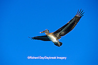 00672-00518  Brown Pelican (Pelecanus occidentalis) immature in flight South Padre Island TX