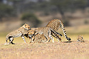 Female cheetah (Acinonyx jubatus) playing with three cubs (around 5 months old). Ndutu area, Serengeti / Ngorongoro Conservation Area (NCA), Tanzania.