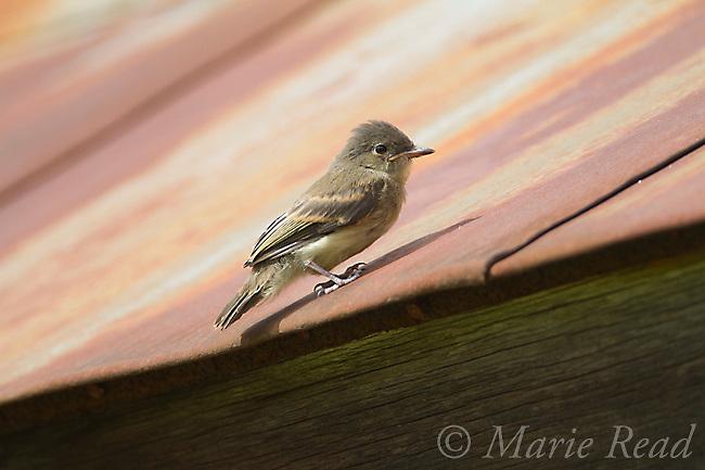 Eastern Phoebe (Sayornis phoebe) fledgling perched on barn roof, New York, USA