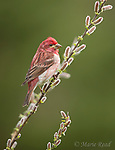 Purple Finch (Carpodacus purpureus) male perched on pussy willow (Salix discolor) in spring, Freeville, New York, USA. (Digitally retouched image: beak cleanup)