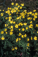 Anemone ranunculoides in yellow flowers in spring bloom