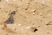 wildlife, quail, desert, birds, animal,