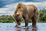 Brown bear eats salmon, Katmai National Park, Alaska
