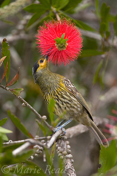 Macleay's Honeyeater (Xanthotis macleayana) feeding on nectar from bottlebrush flowers, Atherton Tableland, Queensland, Australia.