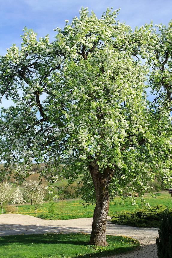 Très gros poirier 'poire de Curée' en fleur // Big tree of European Pear 'poire de Curée' , Pyrus communis 'poire de Curée' in flower