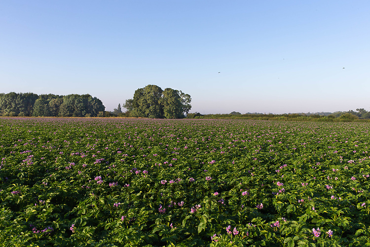 22.6.2020 Potato Field<br /> ©Tim Scrivener Photographer 07850 303986<br />      ....Covering Agriculture In The UK.