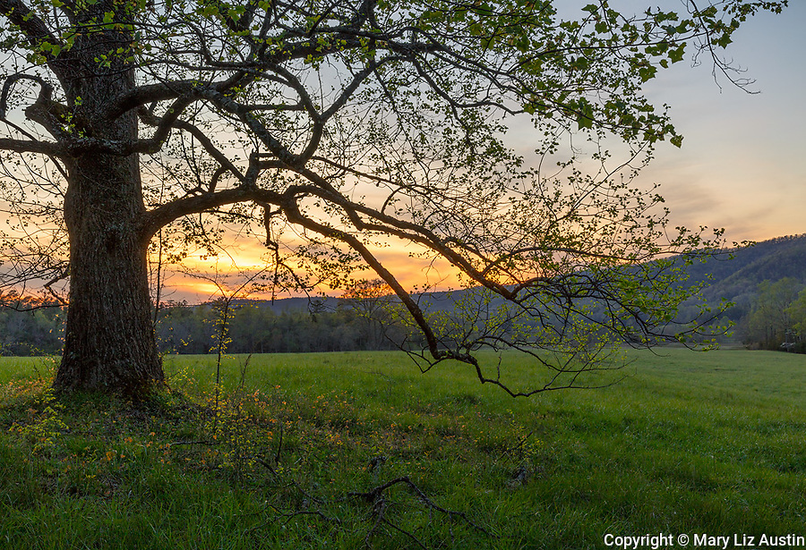 Great Smoky Mountains National Park, TN/NC: White oak tree (Quercus alba) at sunset in Cades Cove in early spring
