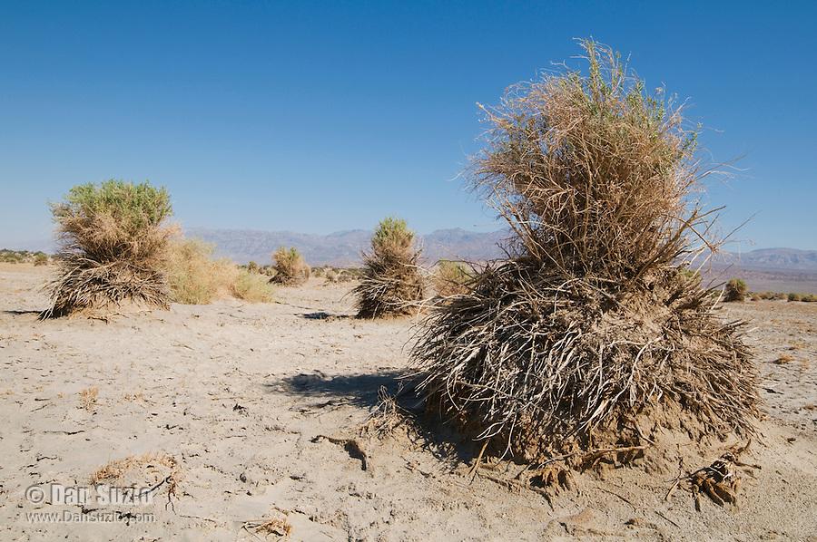 Arrowweed, Pluchea sericea, at Devil's Cornfield, Death Valley National Park, California