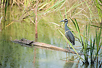 Columbia Ranch, Brazoria County, Damon, Texas; a Yellow-crowned night-heron (Nyctanassa violacea) bird fishing while standing on a log in the slough