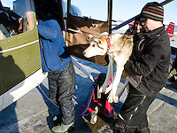 Volunteers in Nikolai load dropped dogs on a plane for a flight to McGrath.