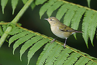 Tennessee Warbler, Vermivora peregrina, adult perched on Tree fern, Central Valley, Costa Rica, Central America, December 2006