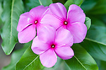 Taveuni, Fiji; three small purple Frangipani flowers