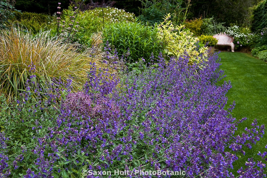 Wide perennial border by lawn path with blue flower Catmint (Nepeta x fassennii 'Walker's Low'), Stipa arundinacea at Digging Dog Nursery demonstration garden